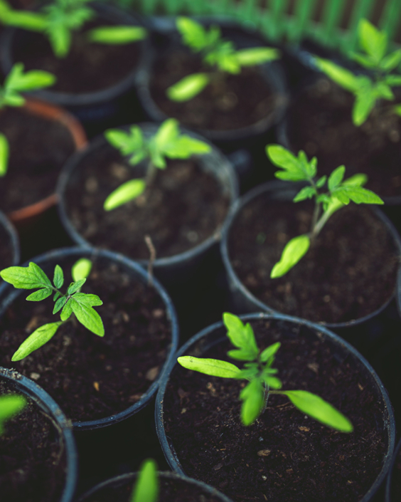 Growing plants in a greenhouse