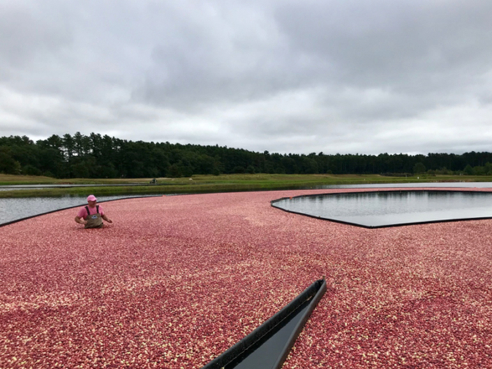 Man wading in cranberry bog